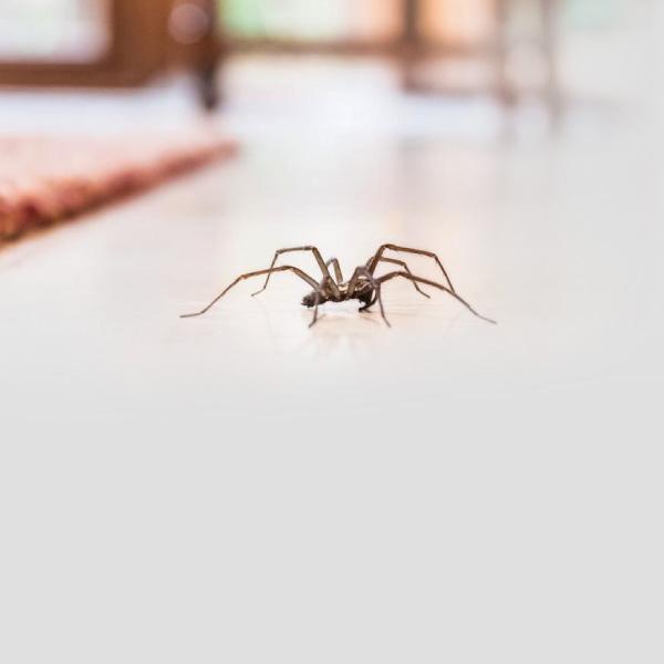 ¿Cómo evitar la araña de rincón?